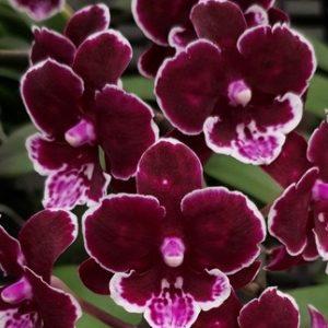 орхидея черный лебедь