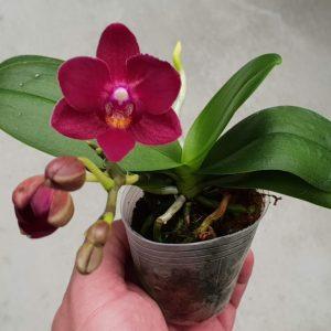 орхидея стрела купидона