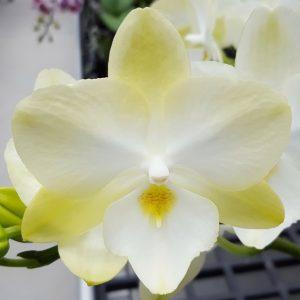 орхидея биглип аллюра даймонд стар