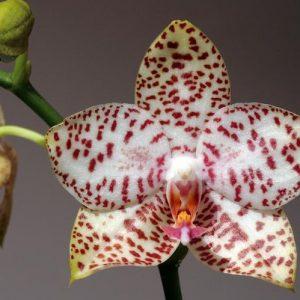 орхидея Phal.Brother Princess 'Hai Tong'