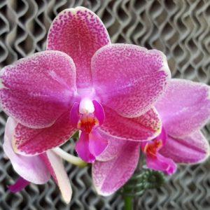 розовая орхидея ароматная