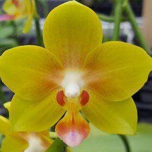 орхидея виктория великолепная