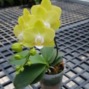 орхидея изаура