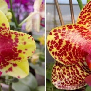 орхидея гибрид