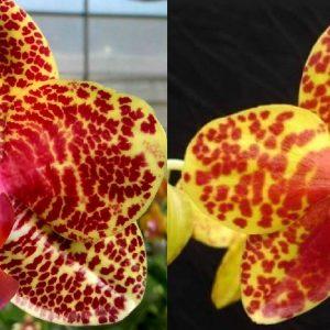 орхидеи в крапинку