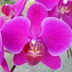 орхидея Cherry Girl