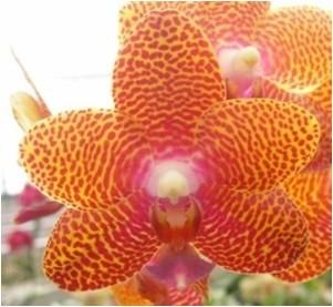 Phal. Joy Auckland Beauty Palmeadow