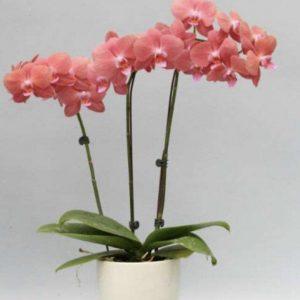 розовый будда орхидея