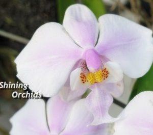 Природная орхидея Шиллериана