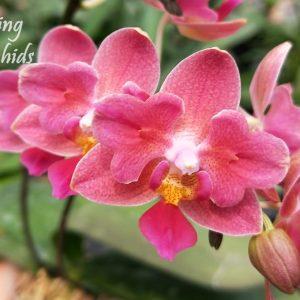 Орхидея пелорик Tying Shin Smart