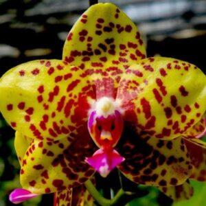Фаленопсис Mituo Diamond Big Spots