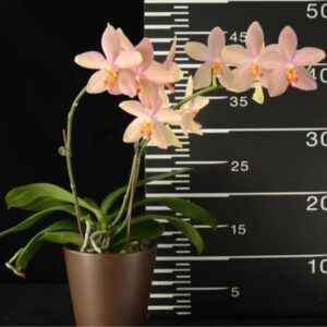 ароматная персиковая орхидея